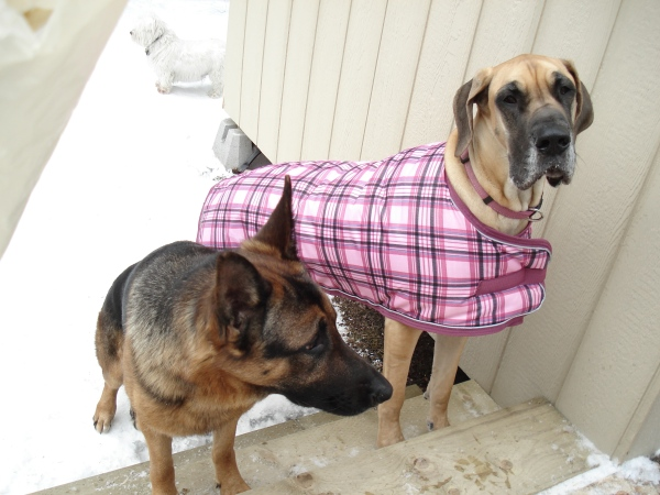 our great dane buddy needed a bit of extra help keeping warm, but she still had a great time out there.